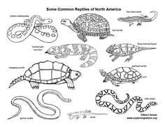 amphibian coloring pages | 303 Best Classifying Living Things images in 2019 ...