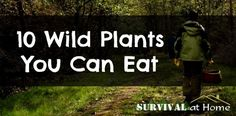 Today we'll look at 10 wild plants you can eat. Learn them, find them, try them now. The more you practice your foraging, the better off you'll be.