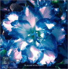white azalea flowers turning brown - Azalea  Rhododendron Forum