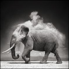 "hirethestache: "" Grey Nick Brandt's photographs of African animals and landscapes are both epic and iconic. It's a vision of Africa that we have not seen before. The photographs of Nick Brandt are. Nick Brandt, Photo Elephant, Elephant Love, Elephant Walk, Alabama Elephant, Beautiful Creatures, Animals Beautiful, Cute Animals, Wild Animals"