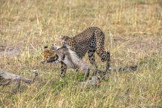 Cheetahs - the standard of motherhood 09