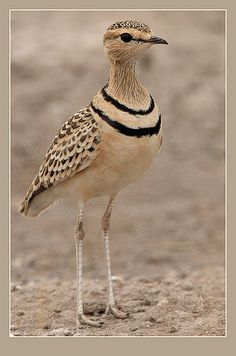 Two-banded Courser by Rainbirder