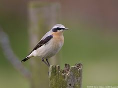 Northern Wheatear (Male).  Seen in the garden 3 May 2017.  Photo by Steve Oakes.