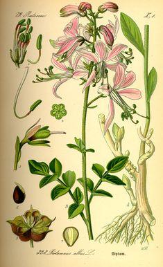 File:Illustration Dictamnus albus0.jpg