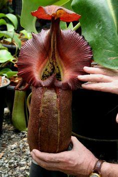 Tropical pitcher plant