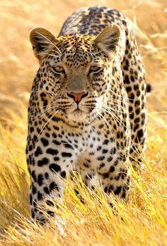 "(by John Kok) "" - große Katzen - Animals Beautiful Cats, Animals Beautiful, Big Cats, Cats And Kittens, Lion Tigre, Animals And Pets, Cute Animals, Leopard Wallpaper, Chobe National Park"