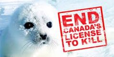 Each spring off the coast of Canada the largest slaughter of marine animals in…