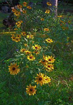 Maryland's state flower, the Black-Eyed Susan. Photo by Kai Hagen.