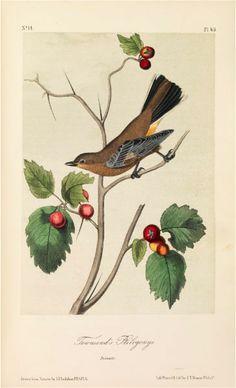 Blue yellow-backed Wood Warbler Audubon Print