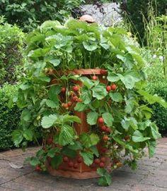 strawberries - container gardening