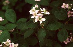 Hamvas szeder (Rubus caesius, Rosaceae) (Turcsányi Gábor felvétele)