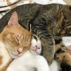 These cute cats will bring you joy. Cats are amazing creatures. I Love Cats, Crazy Cats, Cute Cats, Funny Cats, Animals And Pets, Baby Animals, Funny Animals, Cute Animals, Pretty Cats