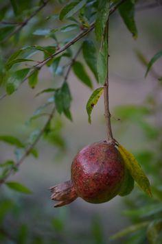 Vietnamese Pomegranate