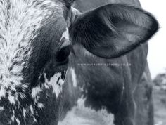 Nguni cow Xhosa, Livestock, Farm Life, Cattle, Animals Beautiful, Equestrian, South Africa, Creatures, African