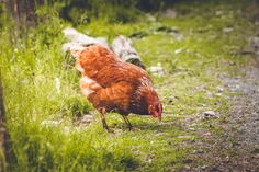 Rooster, Animals, Goat, Cow, Sheep, Animales, Animaux, Animal, Animais