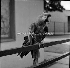 Image of 1953 - Animals and Visitors at Dublin Zoo Dublin Zoo, Zoo Animals, Photo Archive, Bald Eagle, Irish, Image, Irish People, Irish Language, Ireland