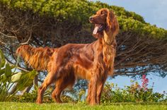 Always Loved the Color on Irish Setters.