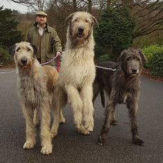 Dogs And Puppies Tattoo - - Big Dogs Poodle - - Dogs And Puppies German Shepherd Giant Dogs, Big Dogs, Large Dogs, Dogs And Puppies, Doggies, Cute Dogs Breeds, Dog Breeds, Irish Wolfhound Puppies, Irish Wolfhounds