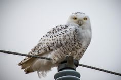 Why are snowy owls moving so far from their Arctic home? And where can you spot one? http://to.pbs.org/13KCZGZ