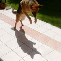 :) Watch this German Shepherd happily play with his shadow. Life is blissful and simple for so many of God's wonderful creatures. :) Watch this German Shepherd happily play with his shadow. Nothing could ruin his day. Dogs show us how to be happy! Funny Animals, Cute Animals, Funny Pets, German Shepherd Puppies, German Shepherds, Silly Dogs, Paws And Claws, Gsd Puppies, Dog Show