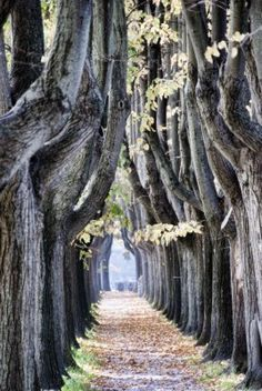 Tree Alley in Lucca, Italy