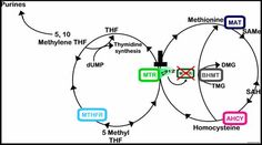 MTHFR methyl cycle nutigenomics ... Article