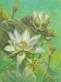 White Lotuses In Turquoise Lake Fiona Craig