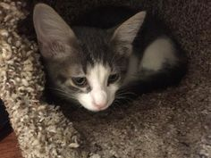 Meet Charity, an adoptable Domestic Short Hair looking for a forever home. If you're looking for a new pet to adopt or want information on how to get involved with adoptable pets, Petfinder.com is a great resource.