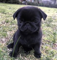 Pug Puppies, Cute Dogs And Puppies, Doggies, Pet Dogs, Pets, Cute Dog Photos, Cute Animal Pictures, Cute Baby Animals, Funny Animals