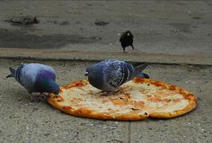 These Pigeons feasting on a Pizza.  Nomnom.