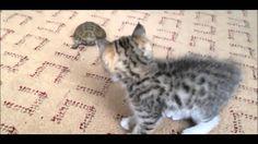 Kitten goes gangster on turtle