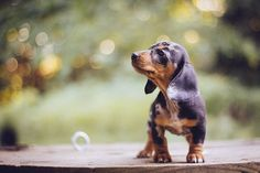"""Dachshund Parade - past: """"Ding Ding"""" (temporary name) So this is... dachshund puppi, dachshund parad"""