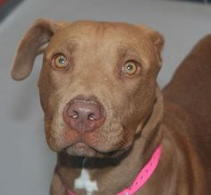 *ASTRA - ID#A716351  Shelter staff named me ASTRA.  I am a female, brown Pit Bull Terrier.  The shelter staff think I am about 11 months old.  I have been at the shelter since May 16, 2013.