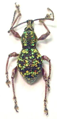 Otorrhynchinae species from peleng island, sulawesi