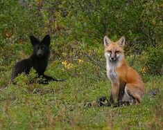 Black Fox - Bing Images