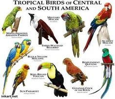 Tropical Birds of South and Central America Art Print by Wildlife Art by Roger Hall - X-Small Animals Of The World, Animals And Pets, Cute Animals, Unique Animals, Animal Species, Bird Species, Funny Bird, Puffins Bird, Poster Art