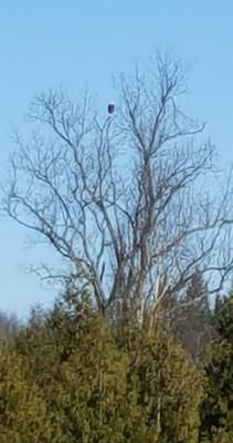 Bald Eagle on Sturgeon Point Road:   We have many Osprey in the area, so when anyone has mentioned seeing an Eagle, it has been dismissed as being confused with one of the local Osprey.