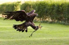 Aigle royal dresse pour la chasse