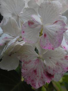 hortensia in de voortuin (3) Plant Leaves, Plants, Plant, Planting, Planets