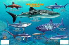 Sharks of Caribbean. Snorkel transect from San Pedro Town to the Reef and Forereef of Belize