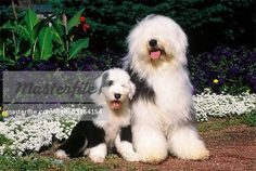 OLD ENGLISH SHEEPDOG ADULT AND PUPPY SITTING WITH FLOWERS - Stock ...