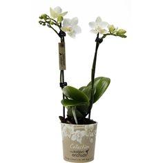 Little kolibri orchid davos Orchids, Davos, Vase, Home Decor, Homemade Home Decor, Lilies, Flower Vases, Jars, Decoration Home
