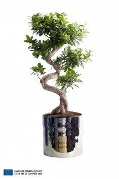ficus ginseng ficus microcarpa entretien taille arrosage bonsa pot plante entretien. Black Bedroom Furniture Sets. Home Design Ideas