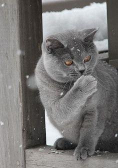 British Shorthair.  A big beautiful cat.