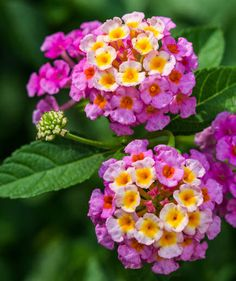 Lantana They are available in a wide variety of colors, and they often change hues during their bloom cycle, which results in multi-colored flowers. When you first plant lantana, you'll want to water the plant more often, but as it grows it will only ne Garden Shrubs, Landscaping Plants, Garden Plants, Water Plants, Landscaping Ideas, Flowering Plants, Water Flowers, Garden Trellis, Outdoor Landscaping