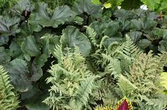 Athyrium 'Ghost' with Ligularia  by KarlGercens.com GARDEN LECTURES