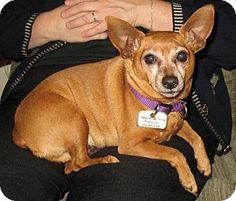 Gilbert, AZ - Chihuahua/Miniature Pinscher Mix. Meet Jack, a dog for adoption. http://www.adoptapet.com/pet/14170064-gilbert-arizona-chihuahua-mix