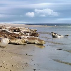 Dieses Foto entstand vor 10 Jahren - in ein paar Tagen fahre ich wieder nach Helgoland und hoffe auf ganz viele fröhliche Robben... #helgoland #wind #beach #fun #strand #beautiful #photooftheday #naturelovers #nordsee #nordseeküste #ig_germany #ig_today #loves_united_germany #animal #robben #seehunde #nature #animals #tiere #natur www.porip.de