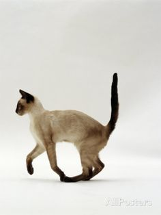 Domestic Cat, Seal Point Siamese Juvenile Running