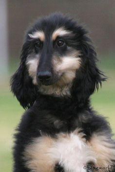 Afghan Hound Puppy, Hound Dog, Hound Puppies, Hound Breeds, Dog Breeds, Baby Puppies, Dogs And Puppies, Most Beautiful Dogs, Tibetan Terrier